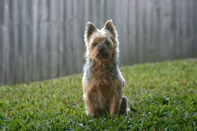 The Australian Silky Terrier is one of the best companion lap dogs to originate from Australia.