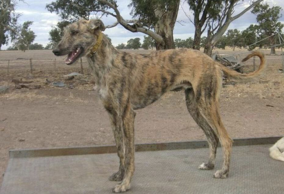 The staghound of Australia is able to take down Kangaroos.