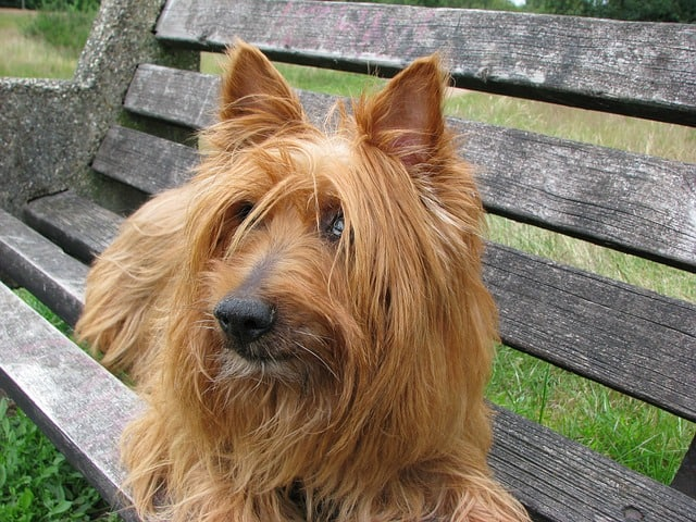The australian terrier was originally called the rough coated terrier.