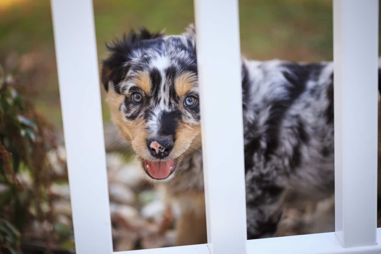 The 4 best crates for Australian Shepherds based on Amazon reviews.