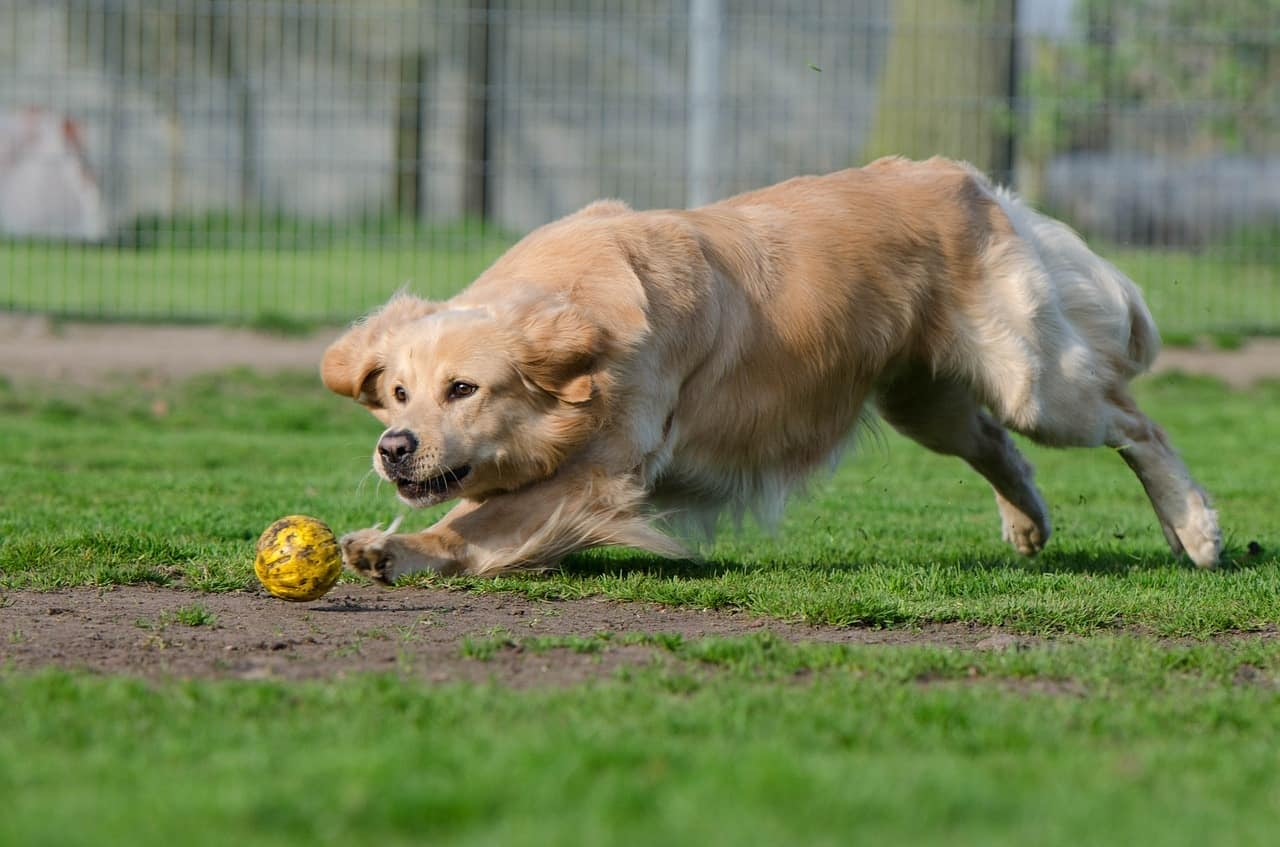 Golden Retrievers aren't as aggressive or active and don't require a heavy duty dog crate.