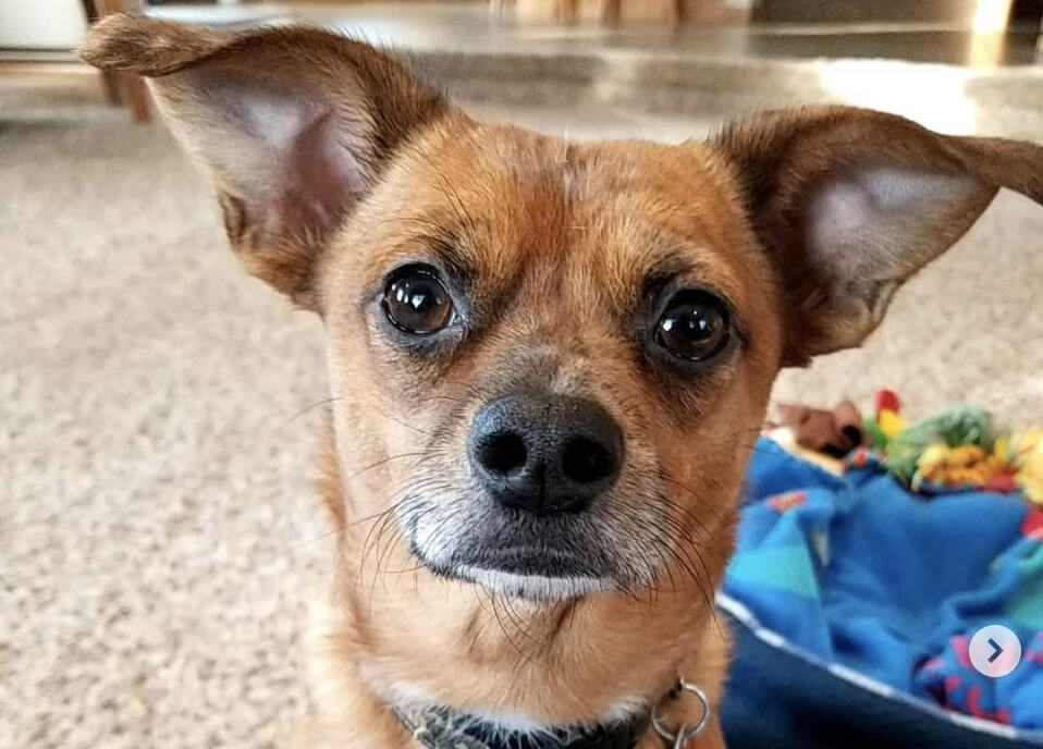 The Chiweenie is a beautiful cross between the Chihuahua and Dachshund dog breeds.