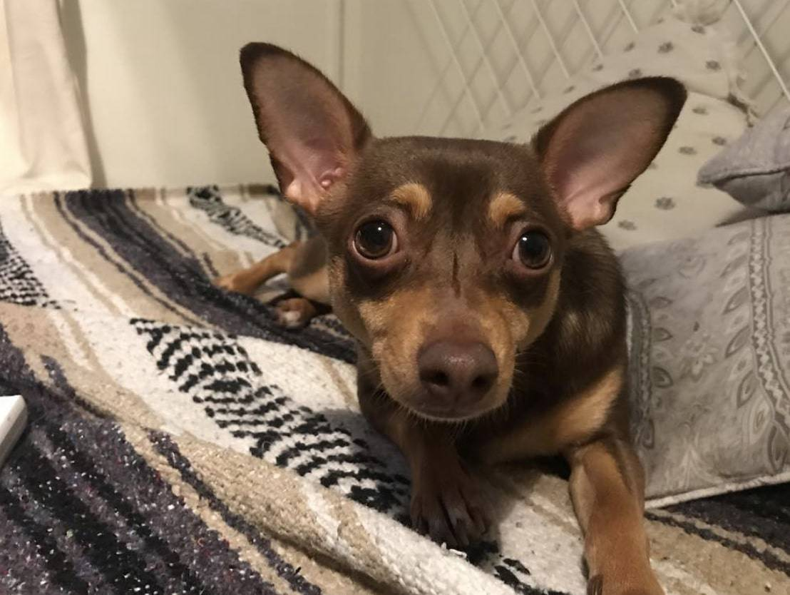 The Chiweenie is a cross between a Chihuahua and a Dachshund.