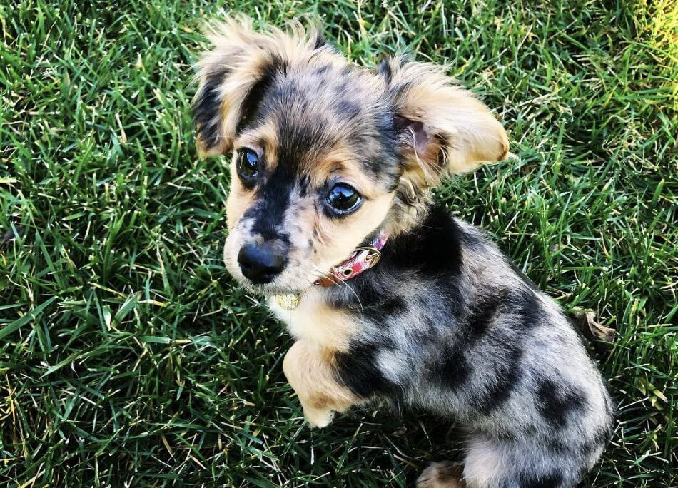 The Dachshund Chihuahua mix doesn't require a lot of exercise and food, but still needs a sufficient amount.