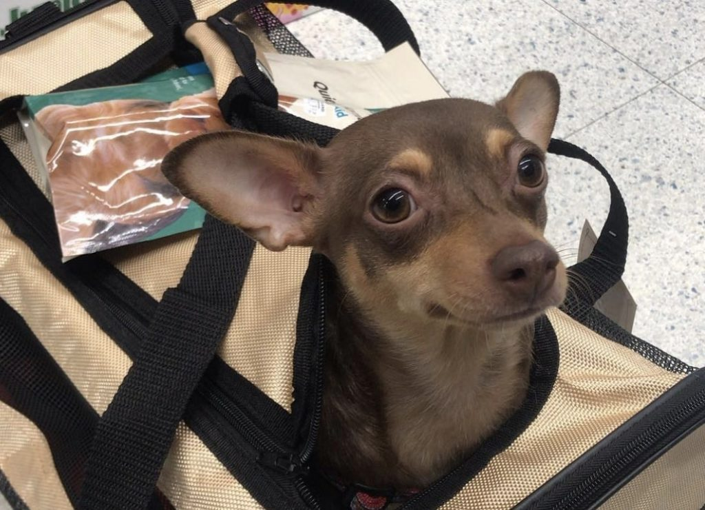 The Dachshund Chihuahua mix is one of the most popular hybrid dogs due to great temperaments.