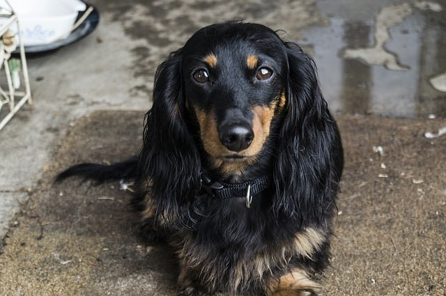 The Dachshund is a small but joyful small dog breed from Germany.