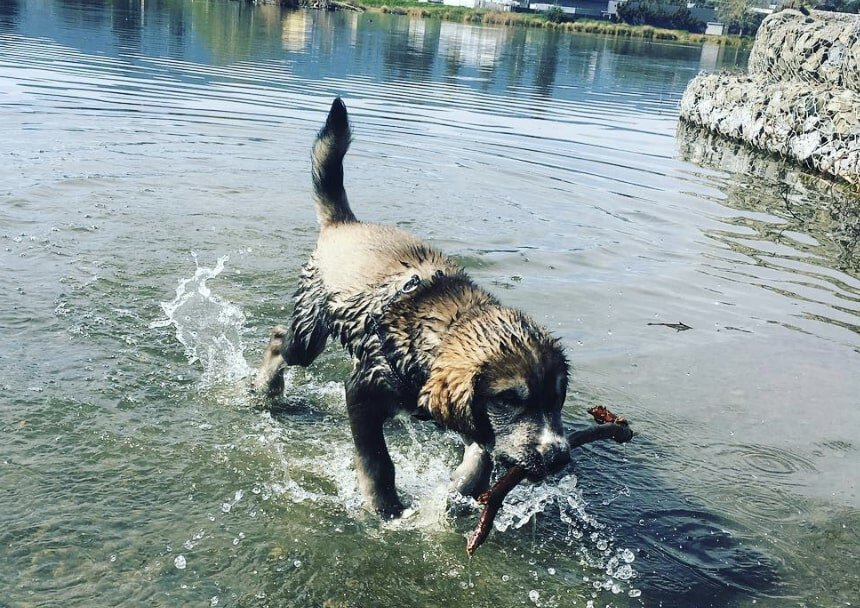 A Goberian will need a lot of daily exercise because of the Husky side.