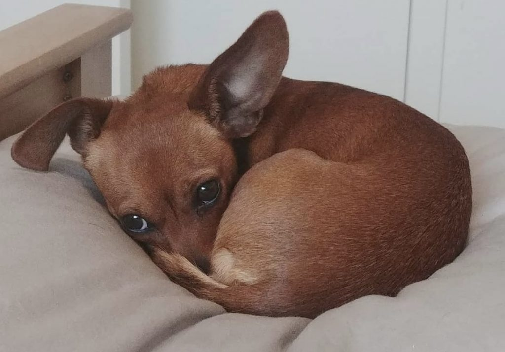 Grooming a Chihuahua Dachshund mix does not require as much attention and time as other mixed dog breeds.