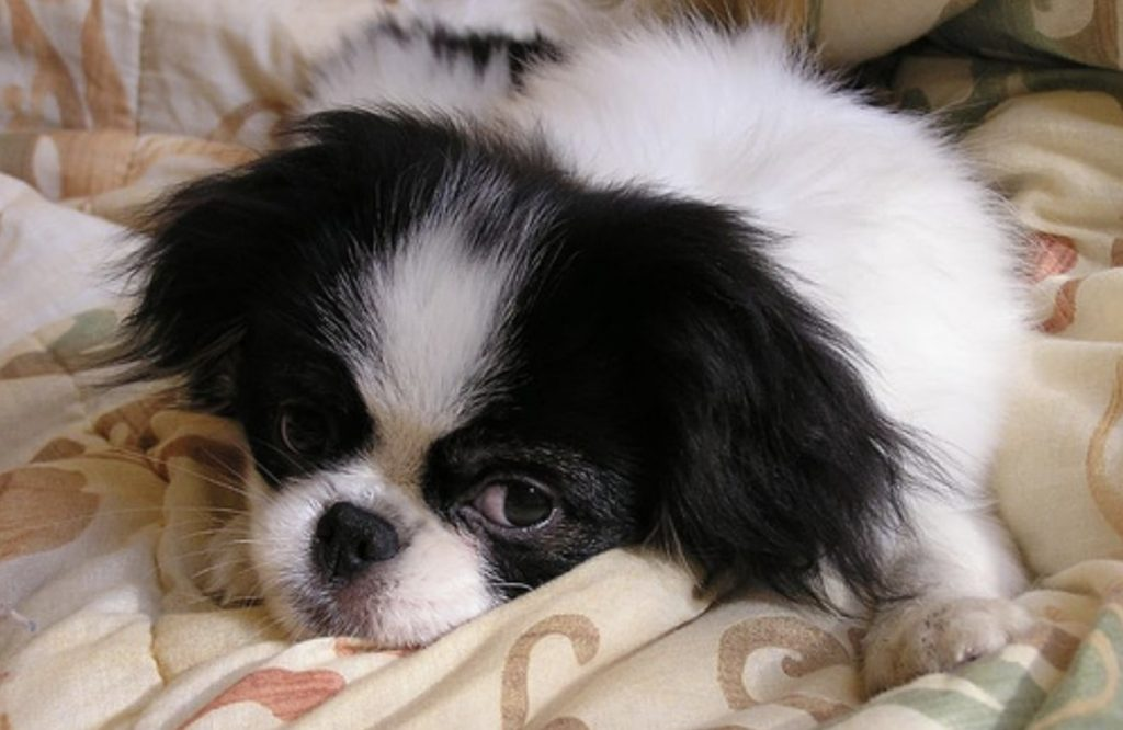 The Japanese Chin is a small working dog breed that may have originated from China.
