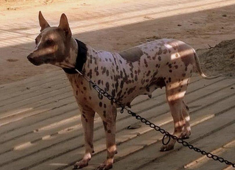 The Jonangi dog is a medium sized dog breed indigenous to India.