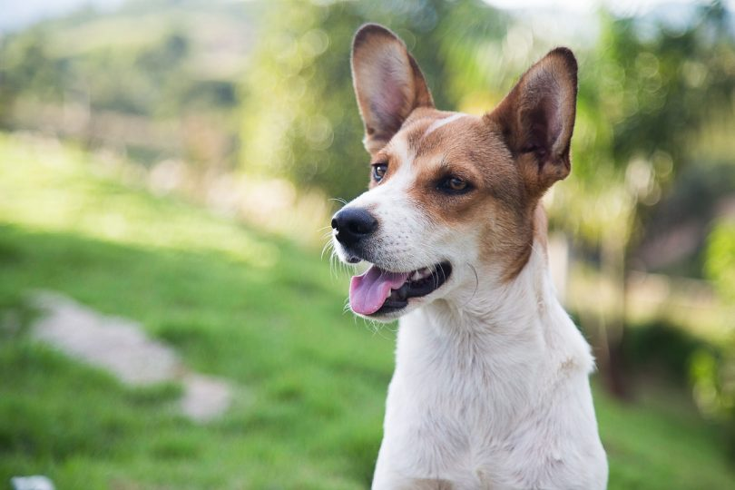 There are several advantages and benefits of getting a mixed mutt breed over a purebred dog.