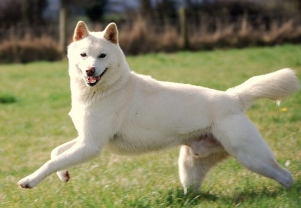The Sanshu Inu is a rare Japanese dog breed developed from a Chow Chow and Aichi dog.