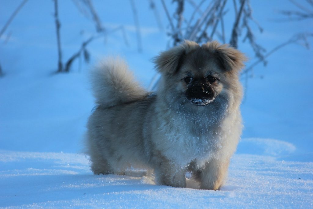 The Tibetan Spaniel has been known to work in tandem with the Tibetan Mastiff.