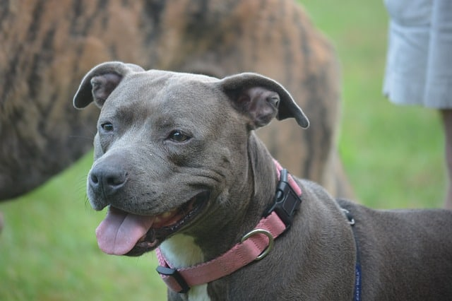The most distinctive physical feature of the Blue Nose Pit Bull is the color of the nose.