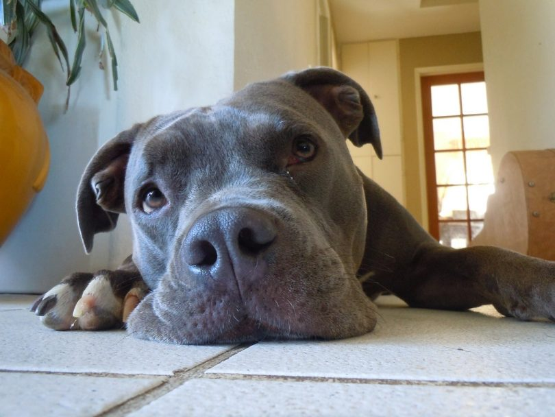 Although called the blue nose Pitbull, the color of the nose resembles the color gray.