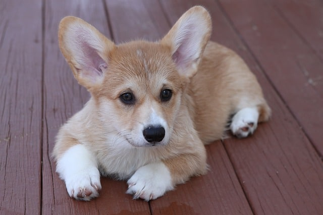 The Pembroke Welsh Corgi is a popular dog breed, especially when mixed with other breeds.