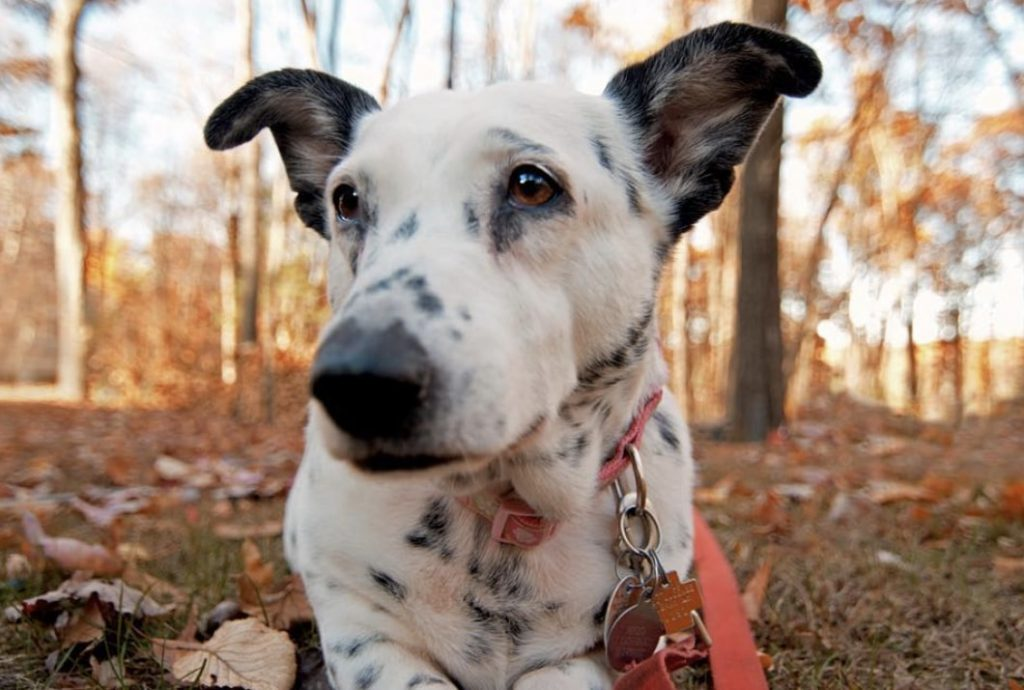 The Corgimatian is a hybrid of the Dalmatian and Corgi.