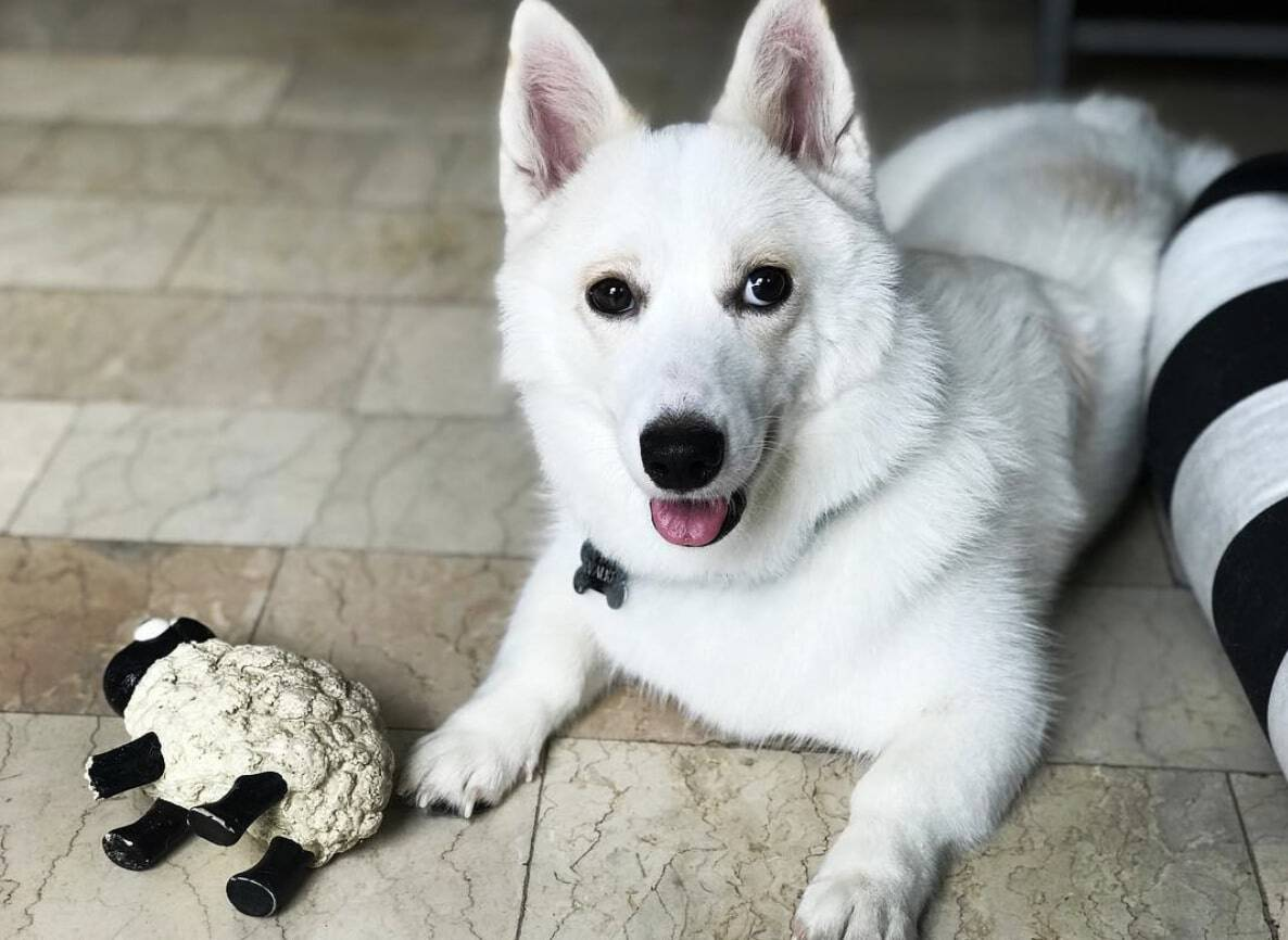 The Corgi Husky mix is one of the best mixed dog breeds in the world.