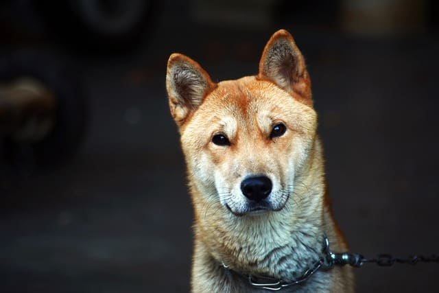 The Jindo is the most iconic and popular dog to come from Korea.