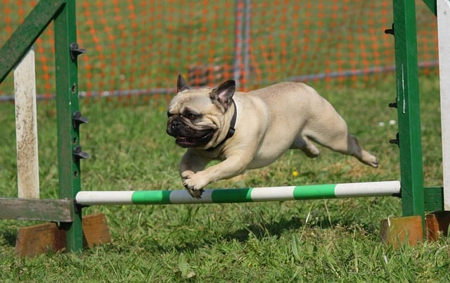 Caring for a pug is relatively easy compared to other dog breeds.