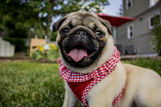 Although Pugs are relatively healthy breeds, there are still some things you need to look out for.