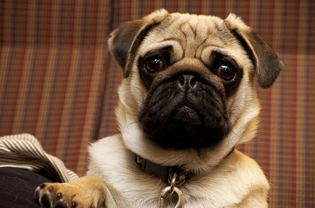 Pugs are generally very friendly and kind dogs, capable of loving anyone and anything.