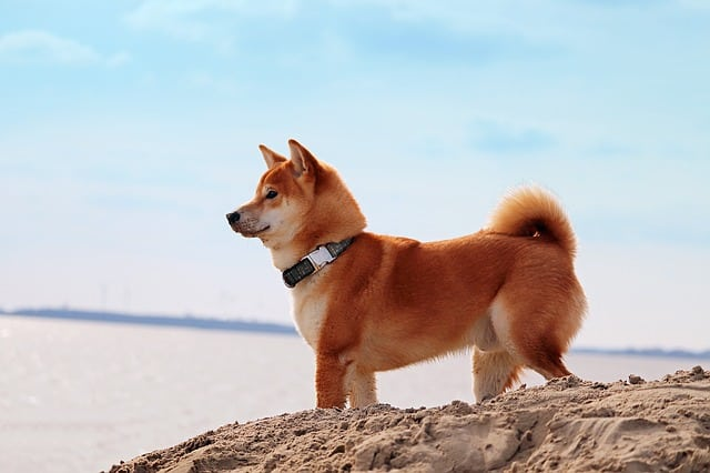 The Shiba Inu is the most popular dog of Japan, and one of the best dog breeds to come out of Asia.