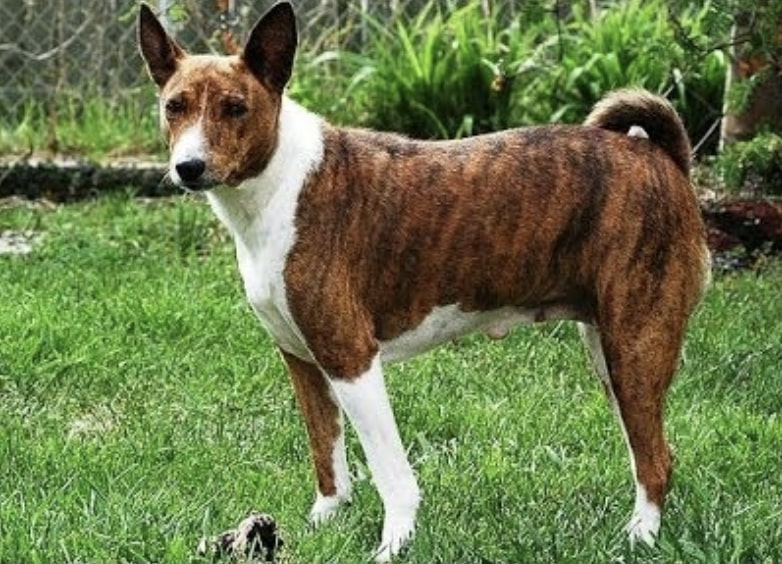 The Telomain is the most popular dog breed from Malaysia and has been gaining popularity in South East Asia.