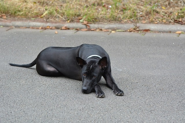 The Thai Ridgeback is by far the most popular dog to originate from Thailand.