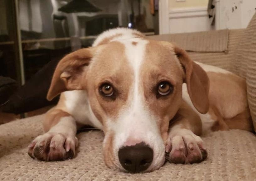The Beagi is the wonderful combination of the Beagle and Corgi.