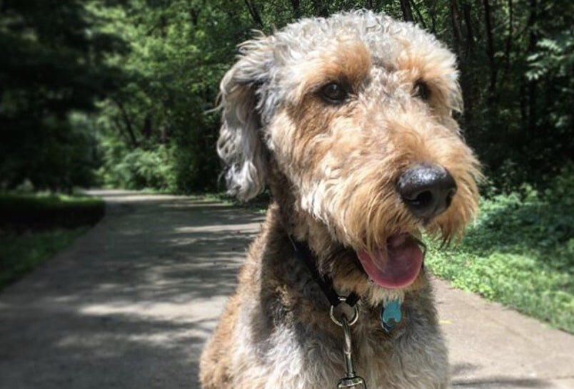 The Airedoodle is part Airedale Terrier and part Poodle.
