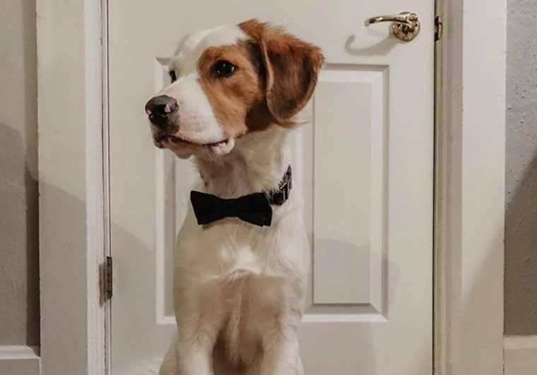 The Beacol is a Collie Beagle mix.