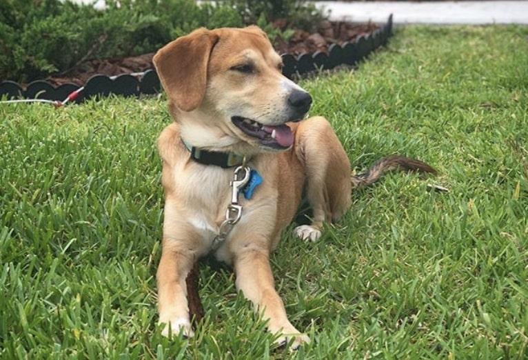The Beagador is part Labrador Retriever, part Beagle.