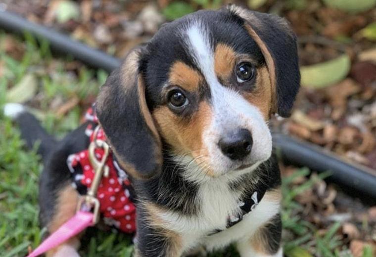 32 Most Bizarre Beagle Mi A Guide To Mixed Beagles