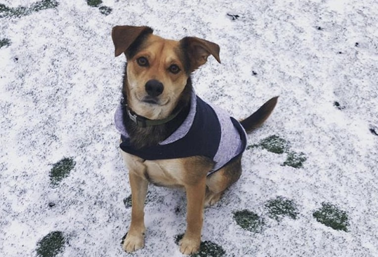 The Beagle Shepherd is a mix of the German Shepherd and Beagle.