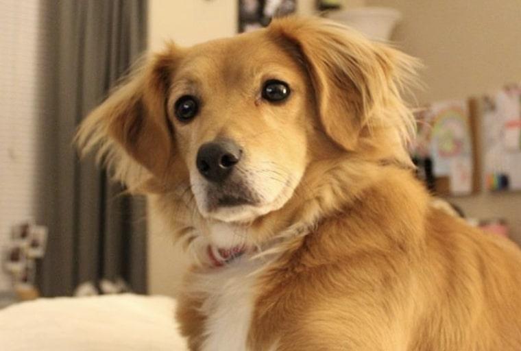 The Beago is a Golden Retriever Beagle mix.