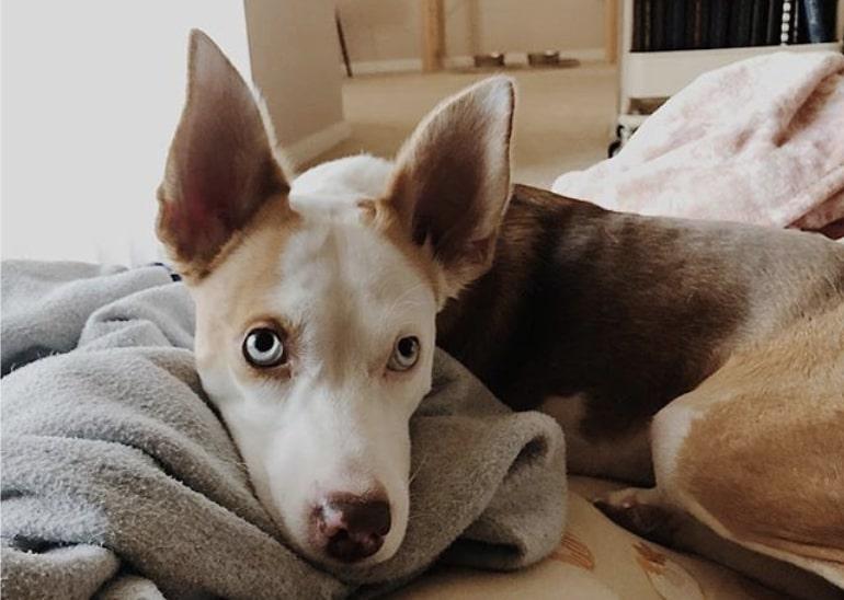 The Beaski is the crossbreed of a Siberian Husky and Beagle.