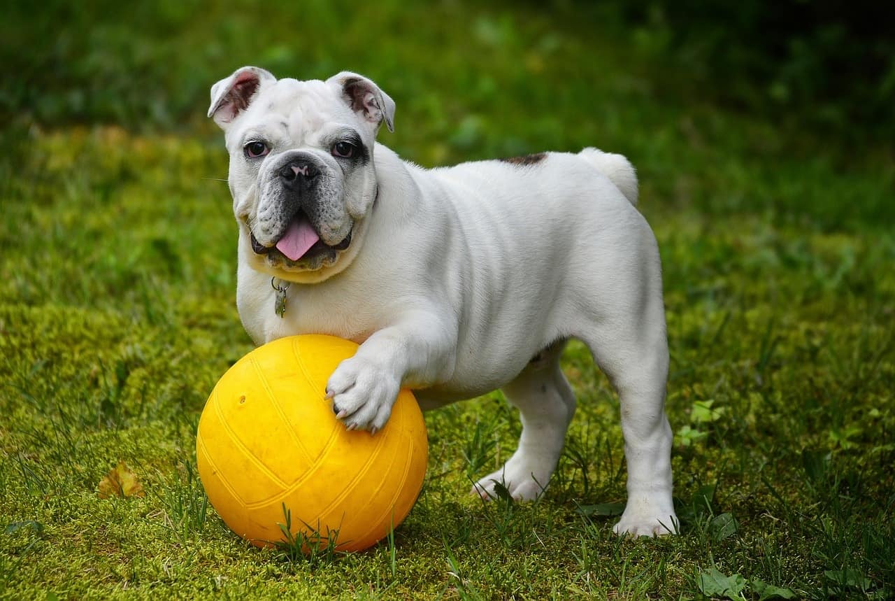 Discover the 4 best recommended dog crates for your English Bulldog.