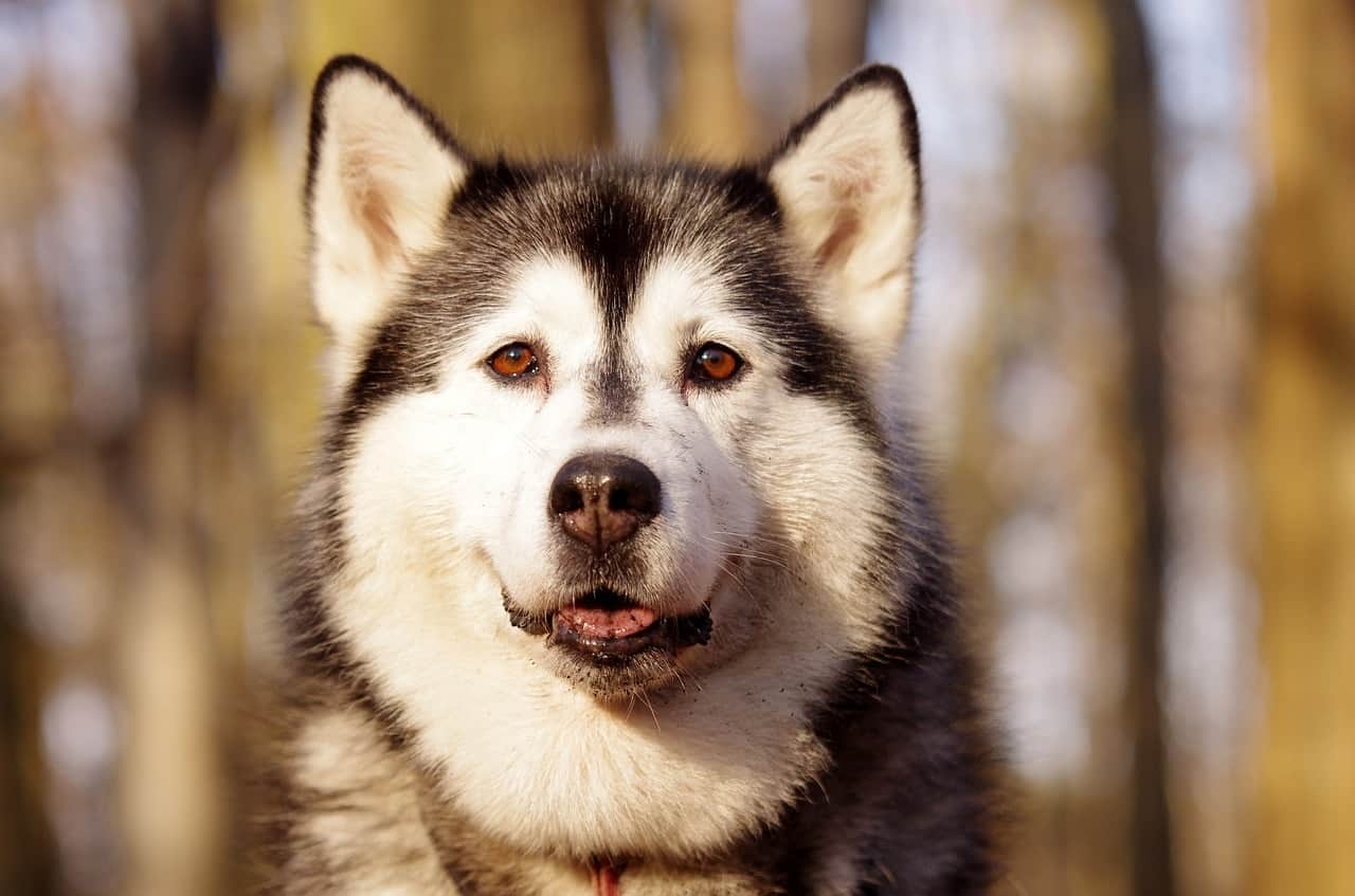 The Smart Canine rates and recommends the 4 best dog crates for Huskies.