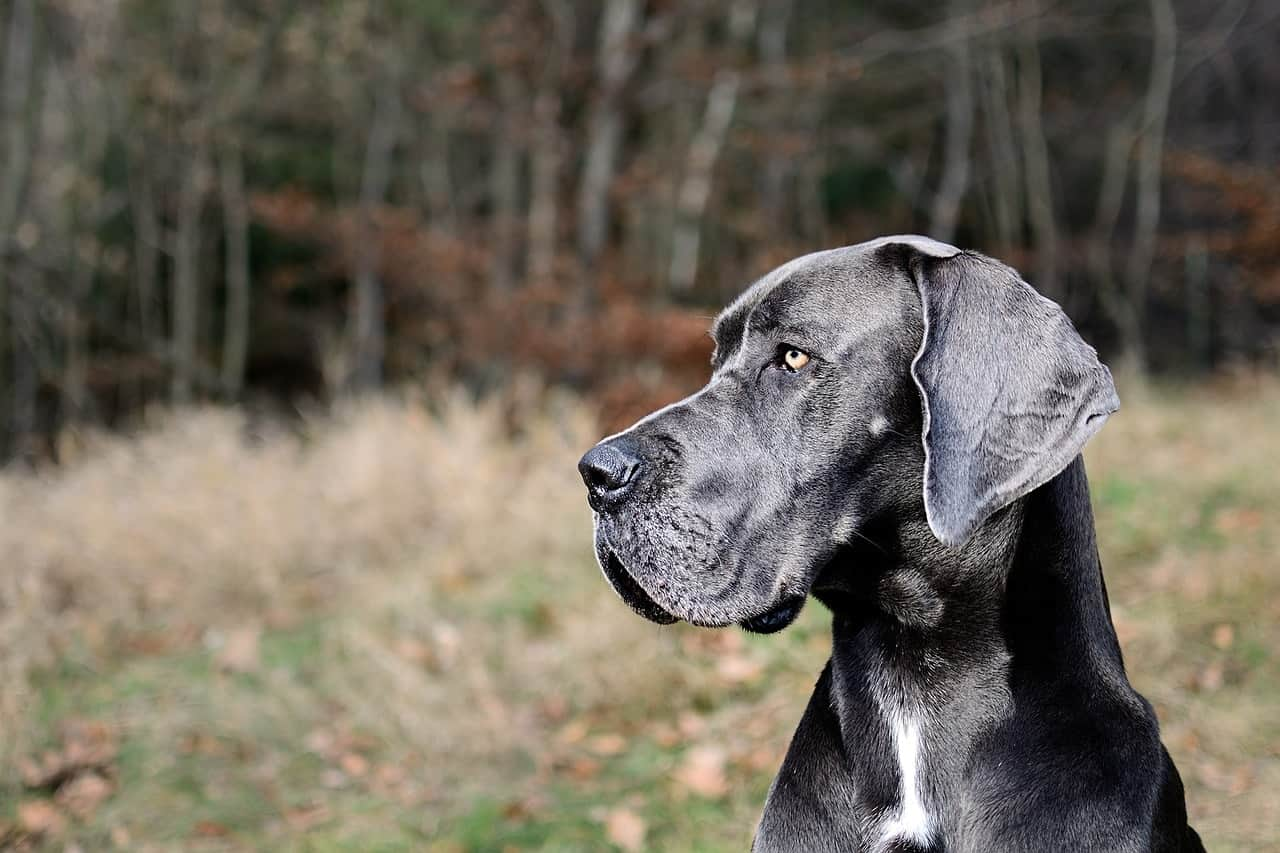 Here's our editor's pick and top choices for dog crates for Great Danes.
