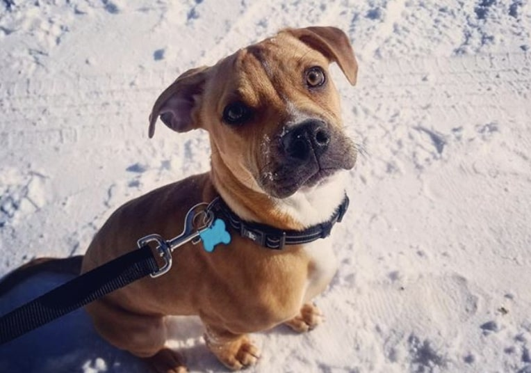 The Boggle is a cross between the Beagle and Boxer.