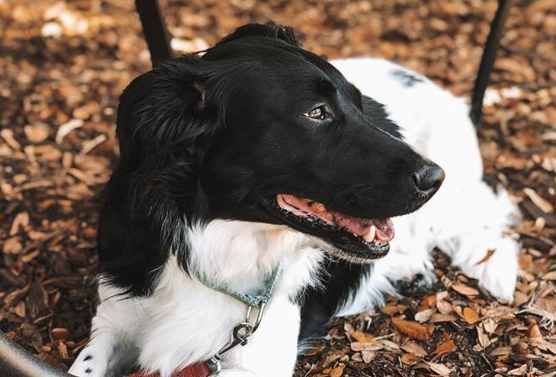 The Borgi is a wonderful cross between the Border Collie and Corgi.