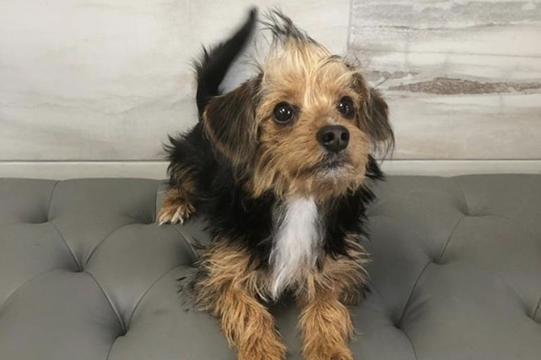 The Borkie is the adorable hybrid of the Yorkshire Terrier and Beagle.
