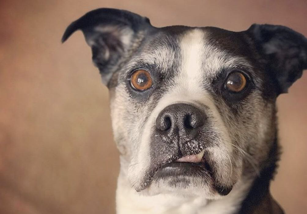 The Boston Boxer is the Boxer and Boston Terrier mix.