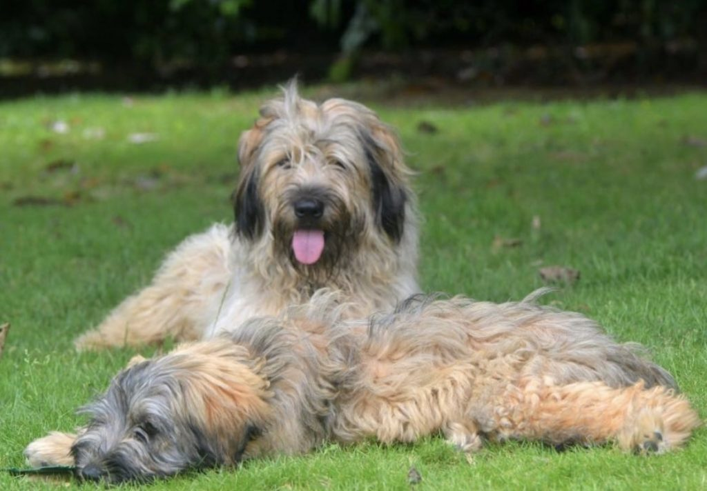 The Catalan Sheepdog from Spain has quietly been growing in popularity.