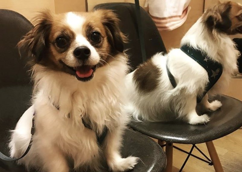 The Cavacorgi is comprised of the Cavalier King Charles Spaniel and Welsh Corgi.