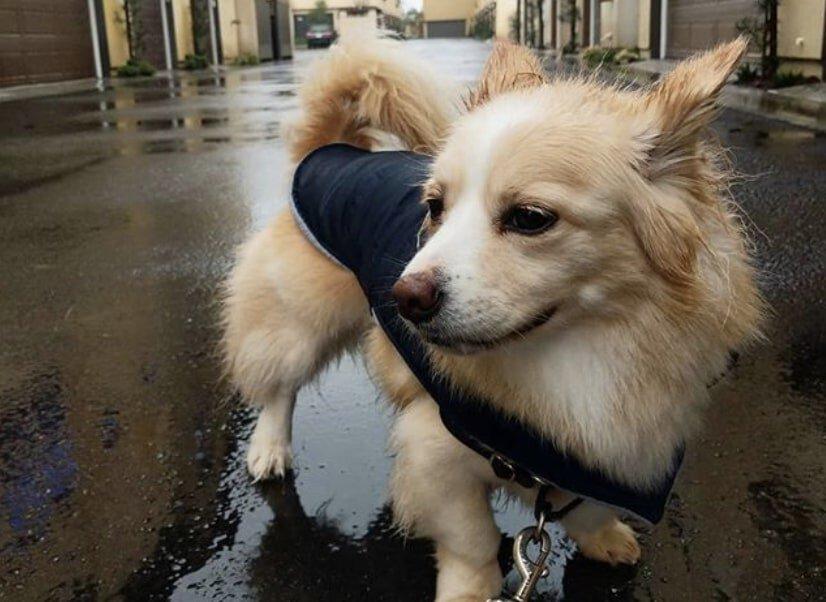 The Corgipom is the crossbreed of a Pomeranian and Welsh Corgi.