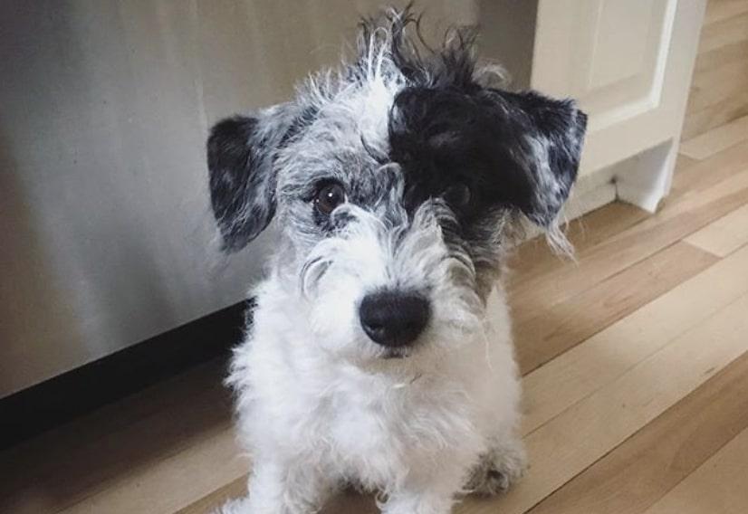 The Corgipoo is a hybrid of the Miniature Poodle and Welsh Corgi.
