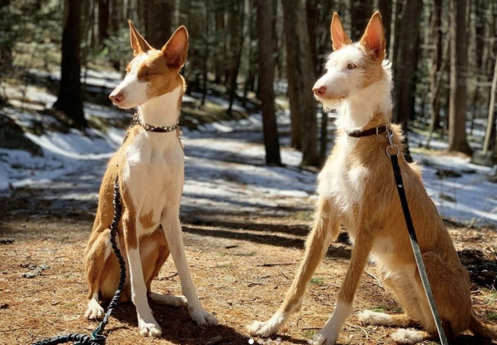 Ibizan Hounds are some of the most popular dog breeds to come out of Spain.