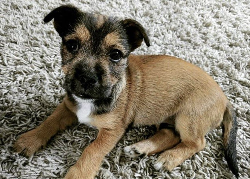 The Jacairn is the Jack Russell Cairn Terrier mix.
